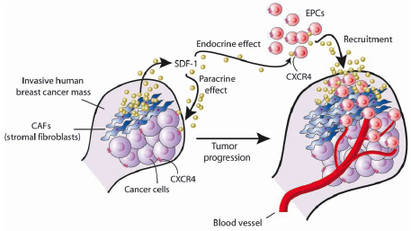 Stem cell blog how do traveling normal and malignant cells decide schematic representation of tumor promoting effects provoked by cafwithin invasive human mammary carcinomas credit akira orimo robert weinberg cell ccuart Images